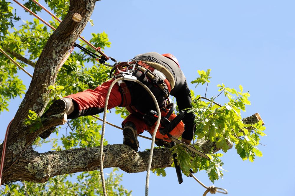 élagueur - Taille et soin des arbres